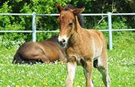 Pferdezucht (Deckhengste)