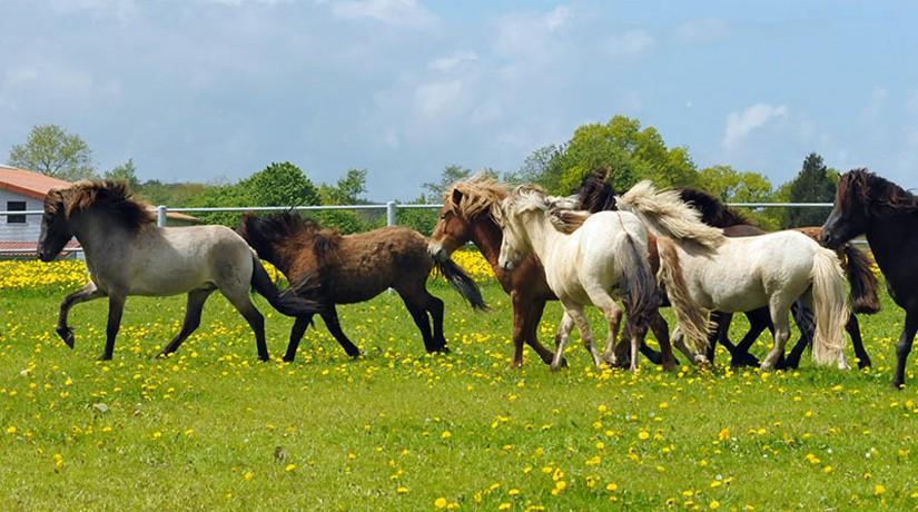 Die Islandpferde von Osterbyholz: Zuverlässige Partner für Jung und Alt